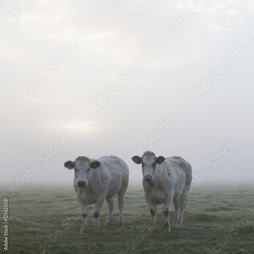 three white meat cows in early moring misty meadow in holland - 125620261
