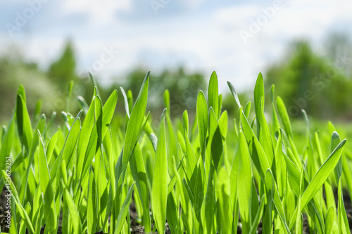 Poster Young green grass background