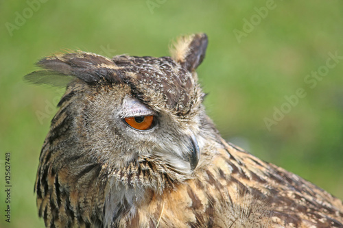 Poster Eagle Owl