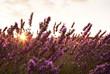 Campo di fiori di lavanda illuminati dai raggi del sole al tramonto