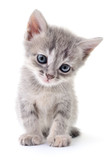 Small gray kitten. - 125639489