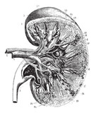 Kidney section, vintage engraving. - 125663013