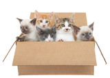 Five assorted kittens in a brown box looking up to viewers right except one looking left, isolated on a white background. Kitten season, kittens for sale and or free to good home