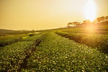 Tea plantation landscape at sunrise
