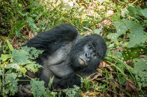 Poster Silverback Mountain gorilla laying in the leaves.