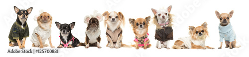 Group of nine cute chihuahua dogs wearing clothes isolated on a white background