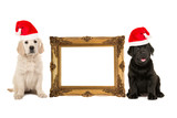 Golden victorian picture frame isolated on a white background with one golden retriever puppy and one black labrador puppy on the side both dogs wearing a christmas hat
