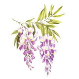 Branch of wisteria. Hand draw watercolor illustration - 125715820