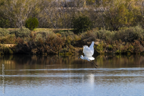 """Poster Great egret fishing and flying in natural area """"Marismas del Odiel"""", Huelva, And"""