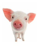 pig - 125814618