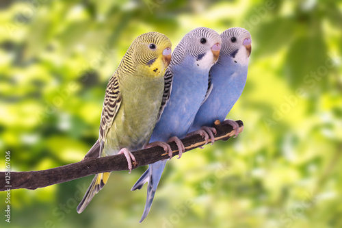 Plagát, Obraz Two multi colored budgie are on the green background