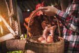 Fototapety a woman gathering fresh eggs into basket at hen house in countryside morning