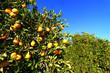 Florida Orange Grove Background
