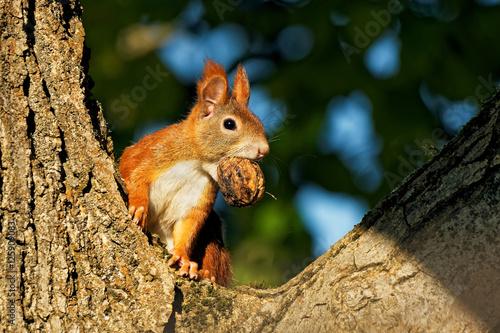 Leinwanddruck Bild Eichhörnchen im Nussbaum,