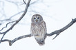 Barred owl (Strix varia) perched on a branch in winter in Canada