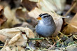 The White-Crowned Sparrow Singing on the Ground in Autumn