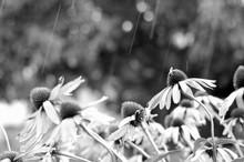 fleurs en pluie d'été