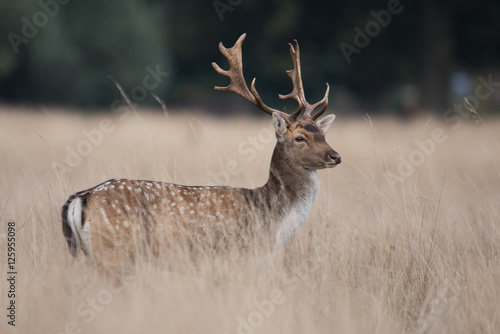Fallow Deer, Deers, Dama dama Poster