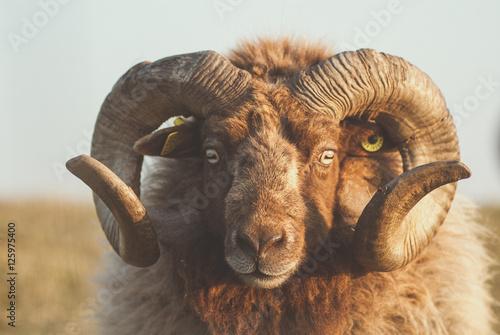 Mouton Shetland - 125975400