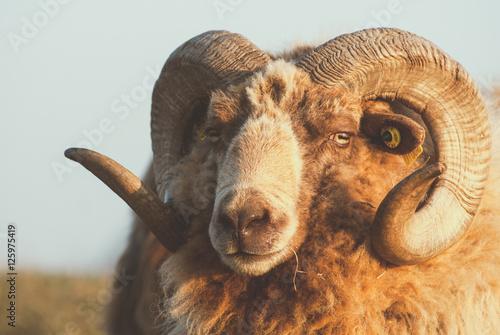Mouton Shetland - 125975419