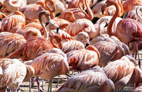Poster Colony of Chilean flamingo, animal scene