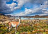 Attentive guanaco