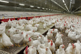 Chicken Multiplication. Poultry - 125987226