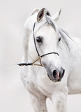 portrait of white arabian horse at grey background - 125991484