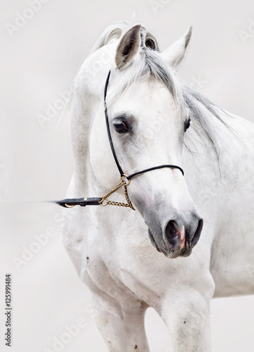 portrait of white arabian horse at grey background - 125991484