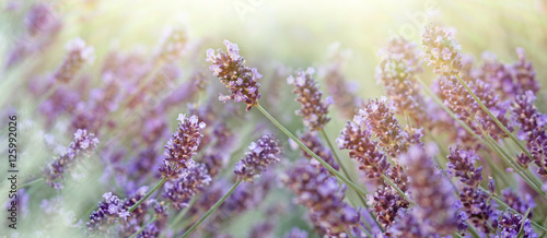 Lavender flower in my flower garden, lavender flower lit by sun rays