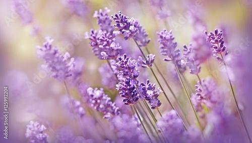 nieostrosc-na-lawendowym-kwiacie-piekna-lawenda