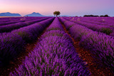 Tree in lavender field at sunrise in Provence, France - 125992424