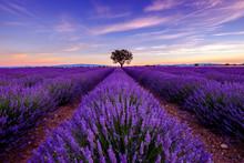 Arbre dans le champ de lavande au lever du soleil en Provence, France