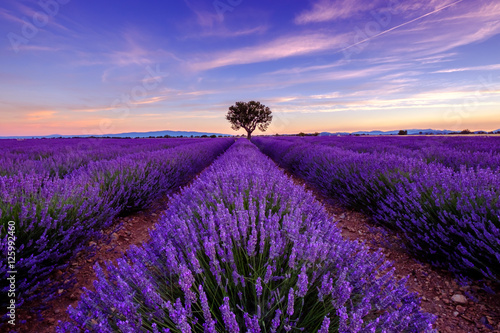 Poster Violet Tree in lavender field at sunrise in Provence, France