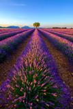 Tree in lavender field at sunrise in Provence, France - 125992603