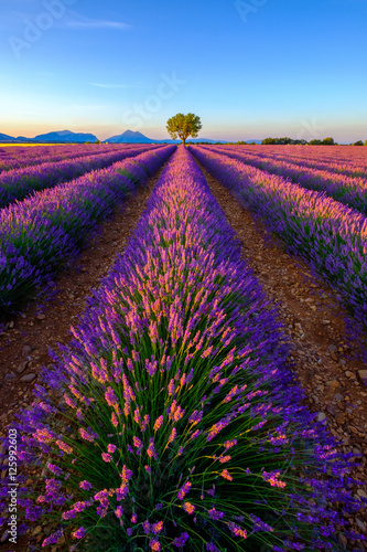 Plagát Tree in lavender field at sunrise in Provence, France