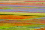 coltivazione della lenticchia a castelluccio durante la fioritura - Italia
