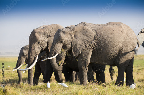 Poster Herd of elephants in Amboseli National Park Kenia