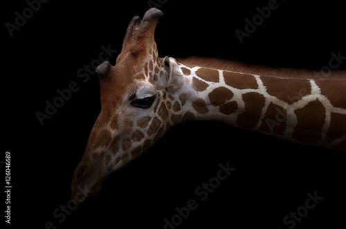 Poster giraffe hiding in the dark