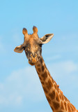 Close up of a male giraffe in Masai Mara, Kenya