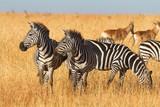 Zebras in the dry grass in Masai Mara, Kenya