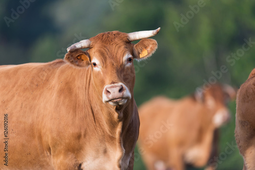Cow from French Limousin Poster