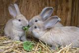 little rabbits eating grass - 126092231
