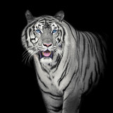 White Tiger - 126121608
