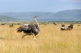 African ostrich (Struthio camelus) - 126134896