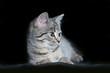 szary, pręgowany, młody kotek na czarnym tle