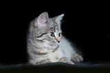 szary, pręgowany, młody kotek na czarnym tle - 126142078