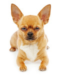 Chihuahua dog isolated on white background. Closeup.