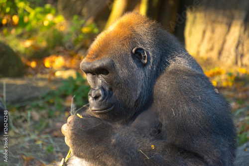 Poster Gorilla Studying a Twig