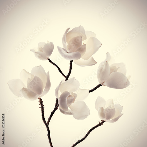 Zdjęcia na płótnie, fototapety na wymiar, obrazy na ścianę : Magnolias flowers